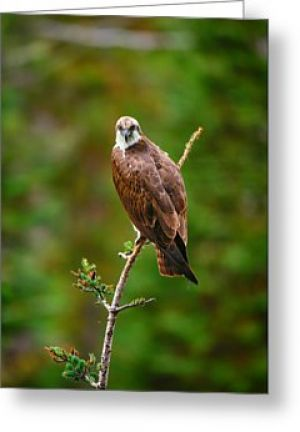 Snake River Osprey Greeting Card
