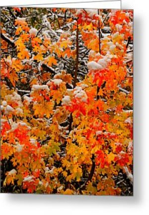 Maple Glow Greeting Card