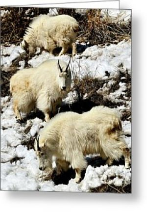 Mountain Goat Trio Greeting Card