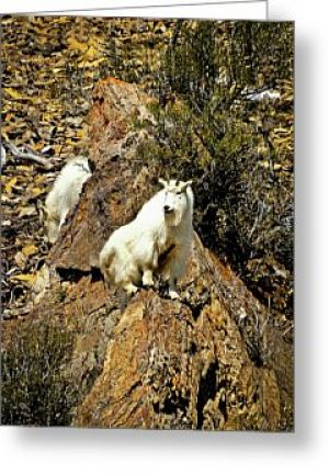 Teton Mountain Goats Greeting Card