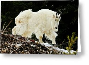 Majestic Mountain Goat Greeting Card